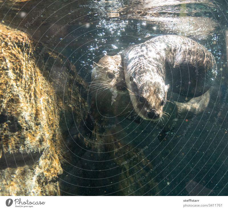 Geschwister des Flussotters Lontra canadensis spielen Otter Nordamerikanischer Flussotter Tier Wildtier schwimmen lustig niedlich Blasen Schwimmsport Ringen