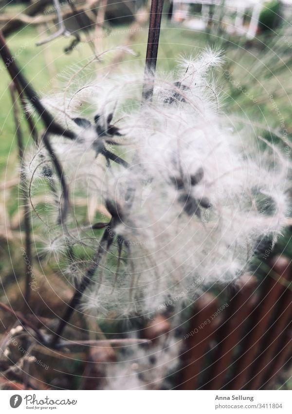 weißes Kudelmuddel Pflanzenteile braun Botanik Nahaufnahme Sträucher pflanzlich Natur exotisch durcheinander chaotisch ungewönlich unscharf Umwelt
