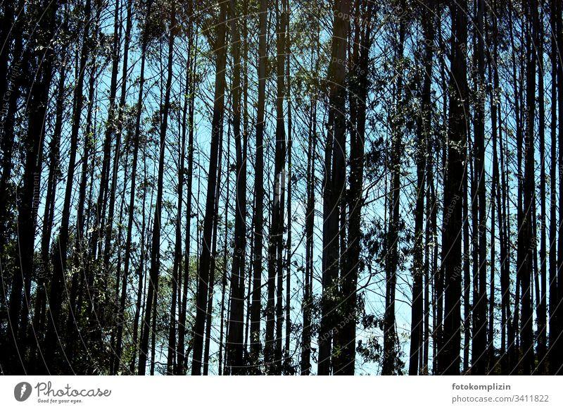 Wald Baum Geraden Bäume Baumstämme Natur Holz Außenaufnahme Menschenleer Umwelt Waldsterben Licht Baumstamm Tag Silhouette baumsilhouette Baumkrone