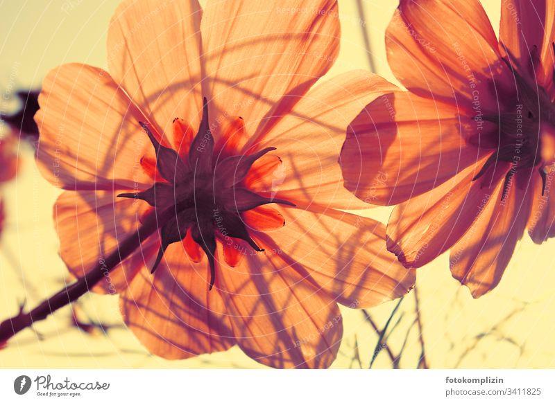 """lichtdurchflutete Blüte Blütenblätter Cosmea"""" Blume leuchtend Blütenblatt rosa Blume Frühlingsgefühle Sommer Blühend strahlend Sommergefühl Blütenpflanze"""