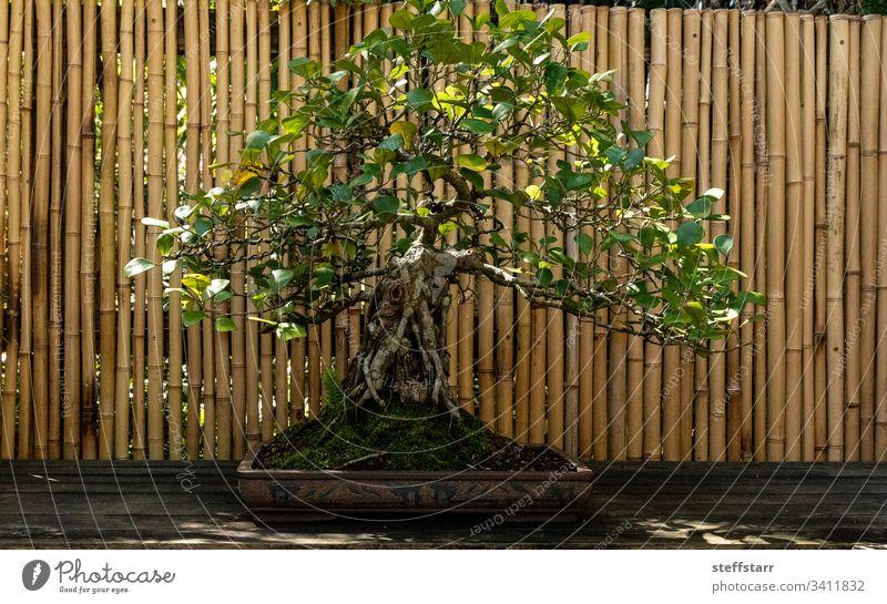 Dreieckiger Feigenbaum Ficus triangularis bonsai tree Bonsai-Baum Natur Garten penibel Geduld Gartenbau Pflanze