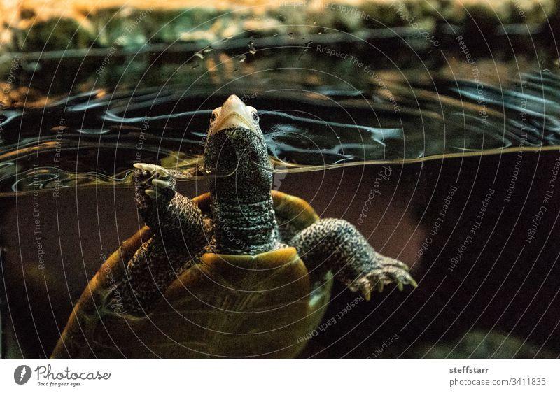 Diamondback Schildkröte Malaclemys Schildkröte Schildkröte Diamantbodenschildkröte Dosenschildkröte Reptil Herp Herpetologie neugierig langer Hals Tier Natur