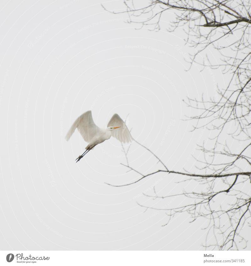 Auf Umwelt Natur Pflanze Tier Luft Himmel Herbst Winter Baum Ast Geäst Wildtier Vogel Reiher Silberreiher 1 fliegen frei natürlich trist grau weiß Freiheit