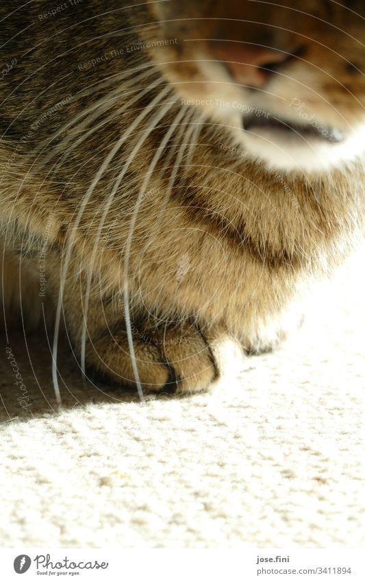 Die Tatzen lugen frech unter dem Pelz hervor, gleichzeitig vermittelt das Maul, fass sie ja nicht an! Tier Haustier weich braun grau Frühlingsgefühle Tierliebe