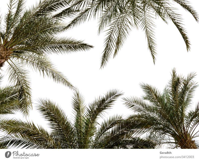 hohe Palmenmuster auf weißem Hintergrund Ägypten Sharm El Sheikh Niederlassungen hell Klima farbenfroh grün heiß Blätter natürlich Natur Palmenhintergrund