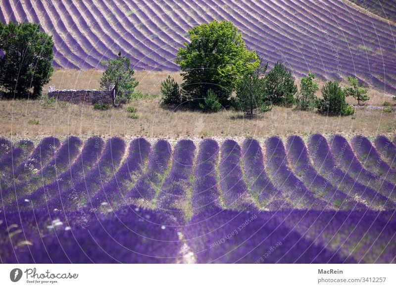 Lavendelfelder in Südfrankreich lavendel lavendelfelder südfrankreich cote d'azur sehenswürdigkeit reiseziel urlaub ferie lila niemand textfreiraum natur