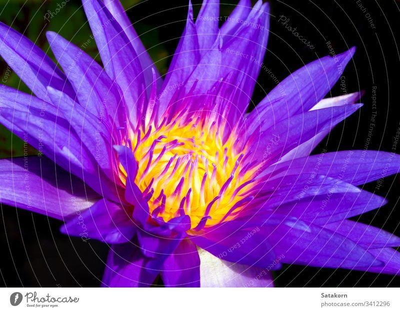 Blaues Blütenblatt und gelber Pollen der Wasserlilie Lilien weiß aquatisch tropisch Blume Natur Makro Hintergrund schön blau Botanik Flora frisch Garten Leben