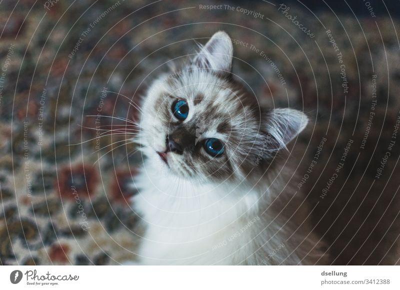 Katze mit blauen Augen blickt in die Kamera Tier Haustier Heilige Birma 1 beobachten Erholung liegen Blick schön weiß türkis niedlich Neugier Wachsamkeit