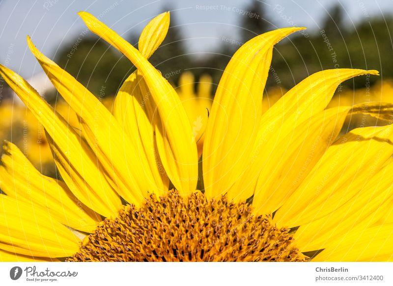 Teil einer Sonnenblume gelb Blüte Blätter Blume Pflanze Sommer Natur Nahaufnahme Farbfoto Außenaufnahme Makroaufnahme Detailaufnahme Blühend Sonnenlicht