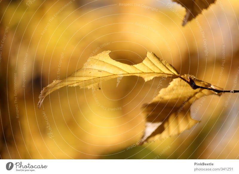 Goldener Herbst Natur Pflanze Sonnenlicht Wetter Schönes Wetter Baum Blatt Wald gelb gold orange Farbfoto Außenaufnahme Nahaufnahme Textfreiraum links