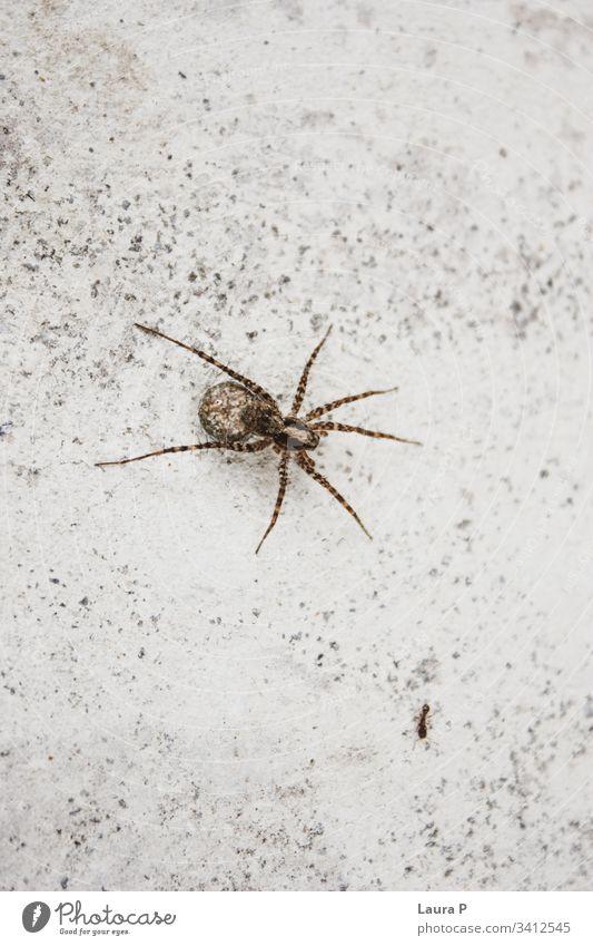 Nahaufnahme einer Spinne und einer Ameise gruselig krabbelnd klein Gefahr Leben schließen Angst abschließen Biologie Entsetzen natürlich braun Arthropode Gift