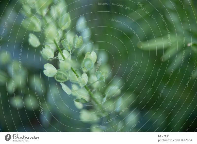 Wildpflanze mit grünen kleinen herzförmigen Blättern auf einem Feld Makro abschließen botanisch Botanik Laubwerk Blume Pflanze Gras wild Sommer Frühling