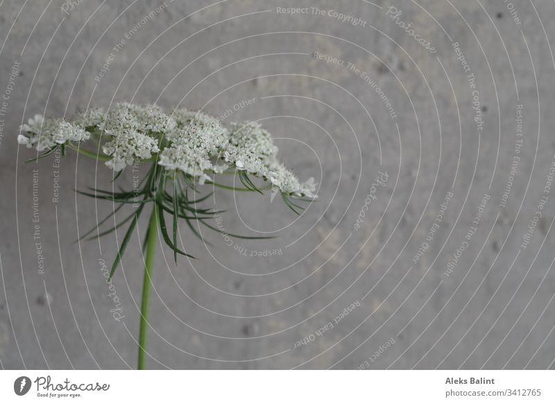Blüte vor Betonwand Blume Detailaufnahme weiß Frühling grün Natur Pflanze Außenaufnahme