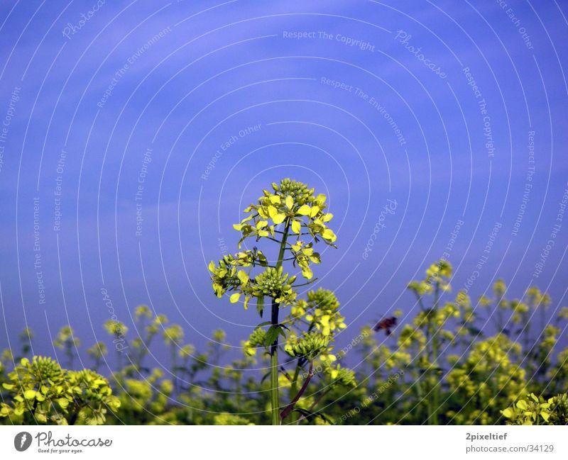 Gelbe Blume #2 Himmel Blume grün blau gelb Feld Insekt Biene Schönes Wetter