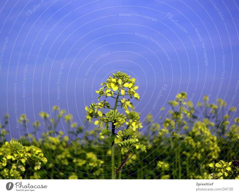 Gelbe Blume #1 grün blau gelb Feld Schönes Wetter