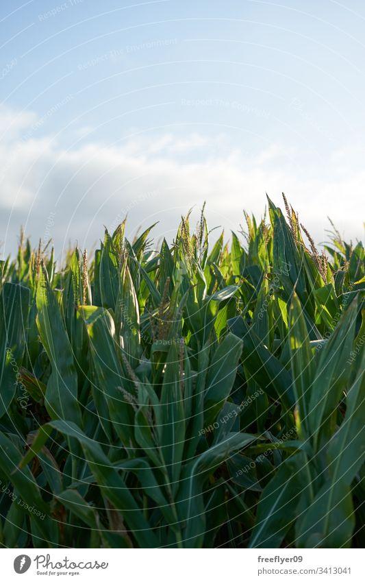Detail der Spitze einer Maisplantage in voller Größe kurz vor der Ernte grün Panorama Sonne Nahaufnahme Saison Natur Müsli Sonnenlicht Blatt Laubwerk gold