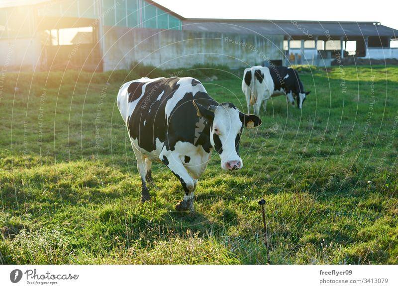 Gruppe von Kühen auf einem Bauernhof in Galizien, Spanien Gras Zucht Ackerbau Herde Kuh schwarz Lebensmittel Frau weiden Dorf malerisch Familie Weidenutzung