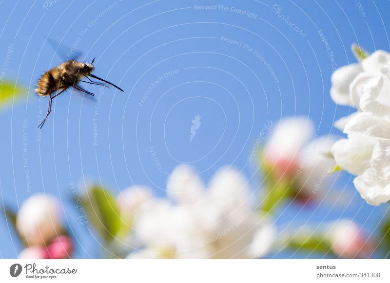 Auf zum Nektar Natur Pflanze Blume Garten Park Wiese Feld Biene Freude Glück Fröhlichkeit Zufriedenheit Lebensfreude Frühlingsgefühle Vorfreude Begeisterung