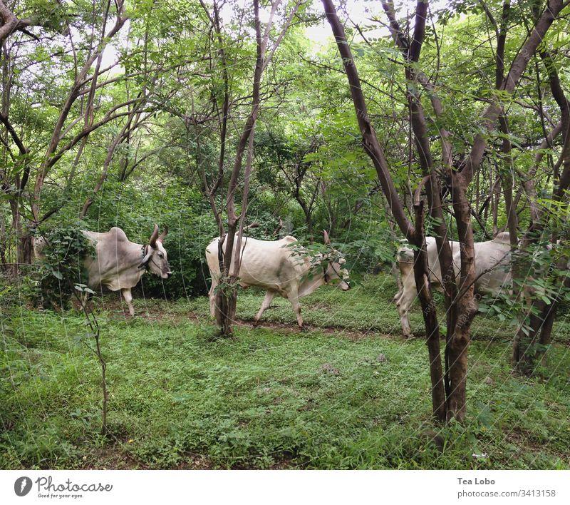 Drei Kühe Indien Nutztier Außenaufnahme Tier Natur grün Kuh Ackerbau Rind Linie Rinderhaltung Weide Tag Viehbestand Herde Umwelt heilig heilige Kuh heilige Kühe
