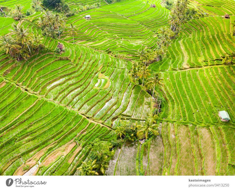 Drohnenansicht der Jatiluwih-Reisterrassen und -Plantage in Bali, Indonesien, mit Palmen und Wegen. Ansicht Antenne Muster Reisfeld Reisfelder Ackerbau Asien