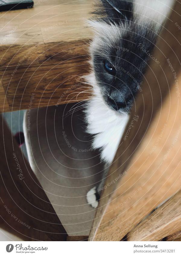 Katze sitzend am Tisch die traurig wegschaut heilige Birma Hauskatze Haustier beobachten Blick Säugetier Fell Farbfoto Schnauze Detailaufnahme Tier Nahaufnahme