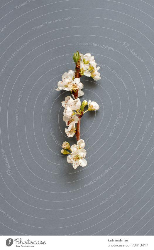 Weiße Frühlingsblumen auf grauem Hintergrund Blume romantisch weiß Draufsicht oben Blütenblätter Knospen Pfirsich Mandeln Konzept kreativ Tag Dekor
