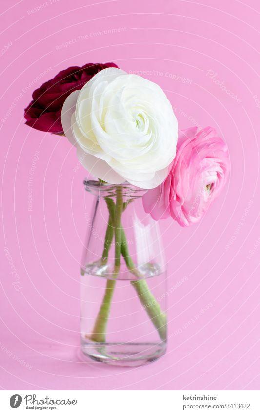 Frühlingskomposition mit Blumen in einem Glasgefäß Ranunculus weiß Wasser romantisch rosa hellrosa Pastell weiche Farbe purpur abschließen Konzept kreativ Tag