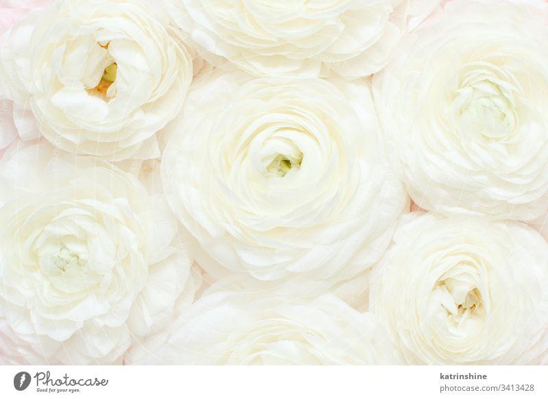 Creme-Ranunkeln-Blüten in Nahaufnahme. Frühlingskonzept Blume Ranunculus Sahne weiß romantisch Pastell flache Verlegung Rosen Draufsicht oben Konzept kreativ
