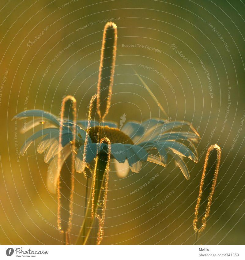 Sommertagstraum II Umwelt Natur Pflanze Sonne Sonnenaufgang Sonnenuntergang Sonnenlicht Blume Gras Blüte Margerite Wiese Blühend Wachstum natürlich Wärme