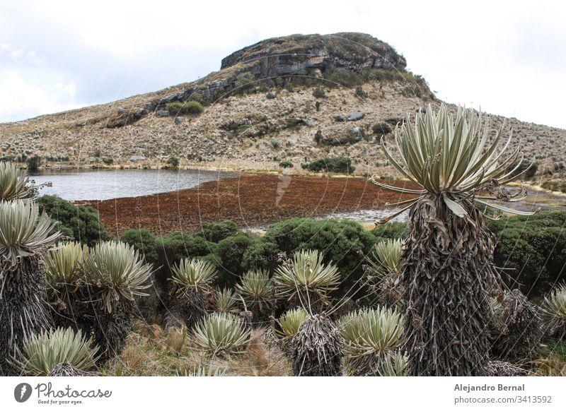"""Landschaft Sumapaz Paramo bei Bogotá. Kolumbien, mit der endemischen Pflanze """"Frailejones"""" mit See und Felsenberg.  Süd-Amerika, Andengebirge. Trekking, Sportwandern"""