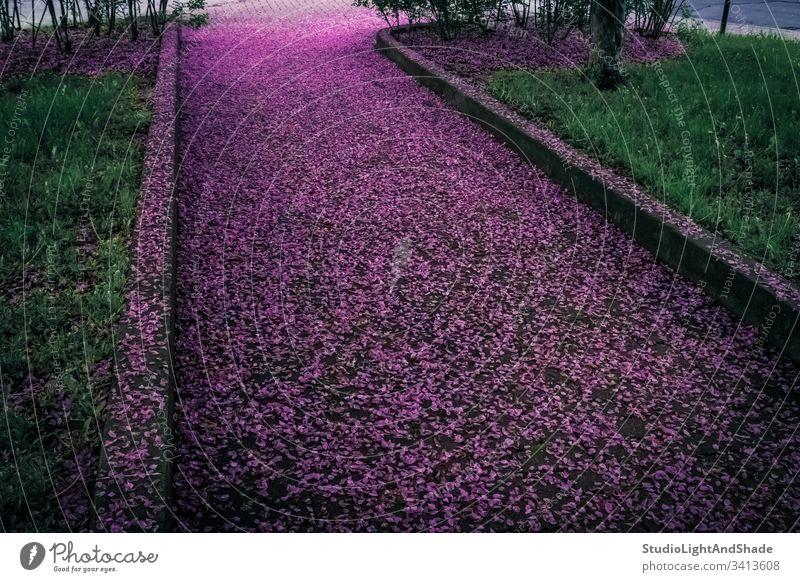 Mit violetten Blütenblättern bedeckte Frühlingsallee Blumen gefallen Gasse Straße Weg Park Straßenbelag Garten purpur grün Smaragd Blühend Blütezeit