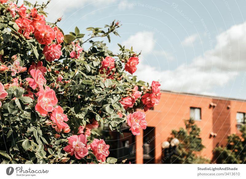 Blühende Wildrosen vor einem Backsteingebäude Gebäude Haus heimwärts Baustein Roséwein Rosen wild Hundsrose Hundsrosen Frühling Buchse Blütezeit Überstrahlung