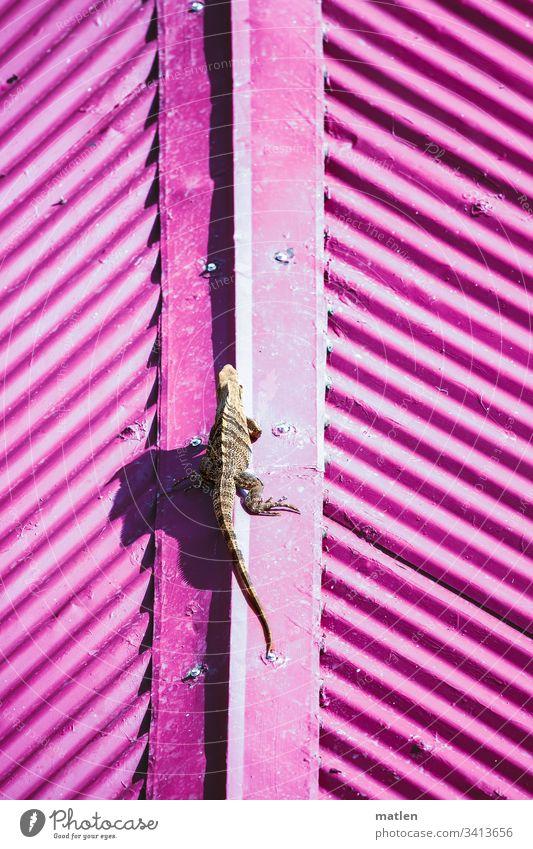 Leguan auf Blechdach Dach Wellblech Wildtier Pink Braun Ganzkörperaufnahme von oben