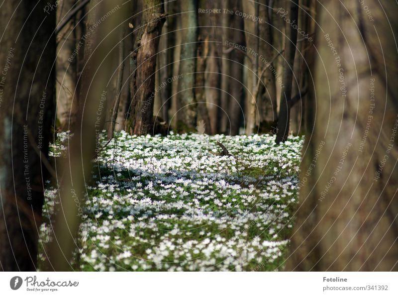 Märchenwald Umwelt Natur Landschaft Pflanze Baum Blume Blüte Wiese Wald natürlich braun grün weiß Frühblüher Frühling Buschwindröschen Farbfoto mehrfarbig