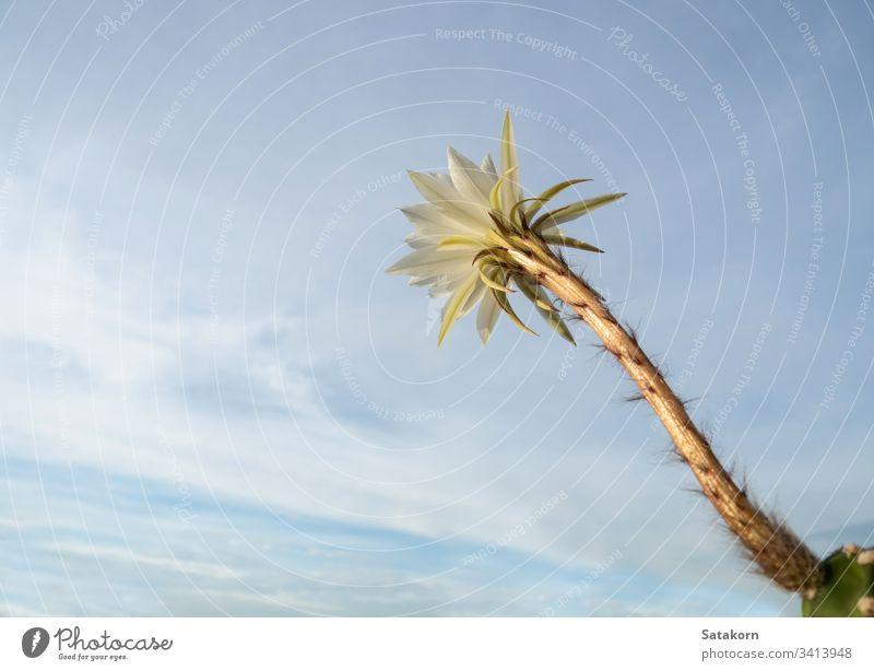 Weiße Farbe mit flauschigen Haaren der Kaktusblume und blauem Himmelshintergrund Blume weiß Frische frisch Cloud Sukkulente Kakteenblüte weiße Blume sehr wenige