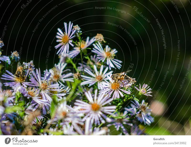 Bienen auf Kamillenblüten Hintergrund Hintergrund Kamille Blütezeit hell Farbe zarte Blumen Insekten Wiese Natur Blütenblätter Pflanze Pollenflug mehrere