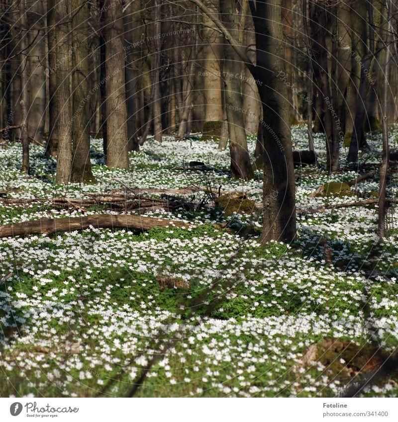 Frühlingserwachen Umwelt Natur Landschaft Pflanze Schönes Wetter Baum Blume Blatt Blüte Wald hell natürlich Wärme braun grün weiß Naturschutzgebiet