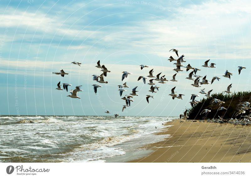 die Möwen fliegen über das Meer ein Vogelschwarm ein Schwarm Möwen oft Strand Vögel Blauer Himmel Wolken Flug Fliege schäumen Horizont Landschaft Natur Sand