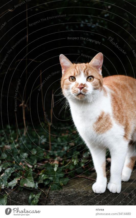 rot weisse Katze Haustier draußen Farbfoto Tier Hauskatze Menschenleer Tierporträt Blick Fell 1 Schnurrhaar Tiergesicht Tag Neugier Schnauze niedlich Katzenkopf
