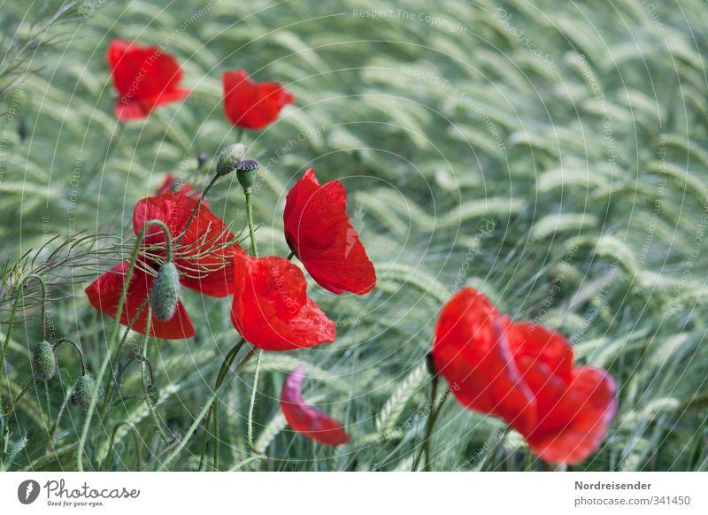 Rot - Grün Natur grün Sommer Pflanze rot Hintergrundbild Lebensmittel Feld Idylle Wachstum Freundlichkeit Blühend Landwirtschaft Getreide Mohn Bioprodukte