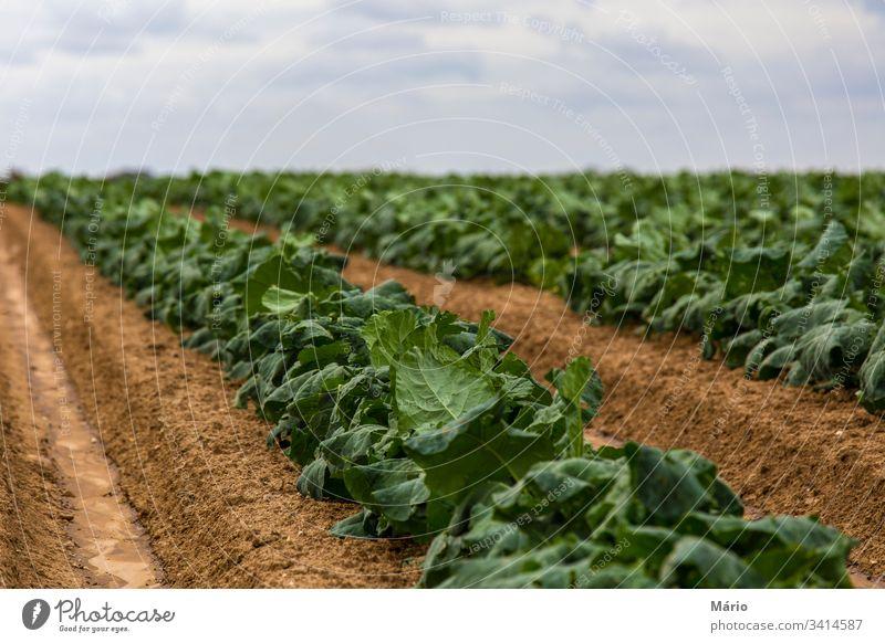 Kohlfeld-Sprossen Ackerbau Biografie Himmel Garten Feld Ernte produzieren Reihe Pflanze Gesunde Ernährung Ackerland Schonung Wachstum Veggie Sommer