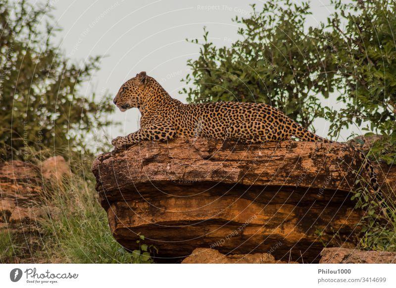 Ein Leopard badet auf einem Felsen im Samburu-Park Afrika Kenia Tier groß schwarz Fleischfresser Katze getrübt gefährlich katzenhaft Dschungel Kilimandscharo