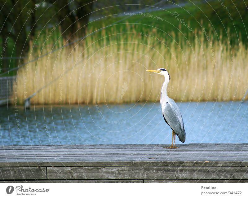 AAAAAAchtung!!! Umwelt Natur Tier Urelemente Wasser Pflanze Gras Park Wildtier Vogel 1 natürlich Reiher Schnabel Metallfeder Schilfrohr Bank Farbfoto mehrfarbig