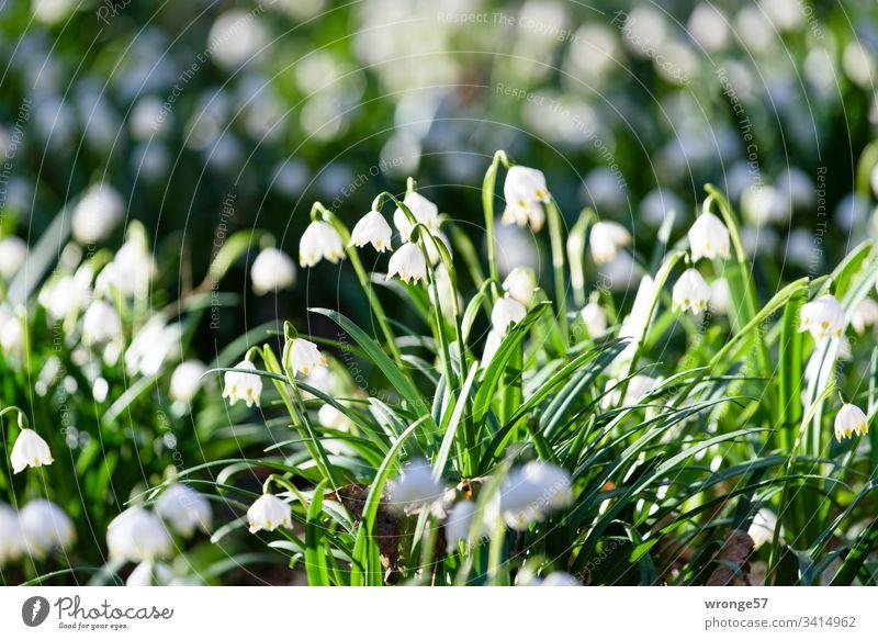 Ein Tal voller blühender Märzenbecher Frühling Farbfoto Außenaufnahme Pflanze Blume Natur Menschenleer Wald Blühend Schwache Tiefenschärfe Blüte weiß grün