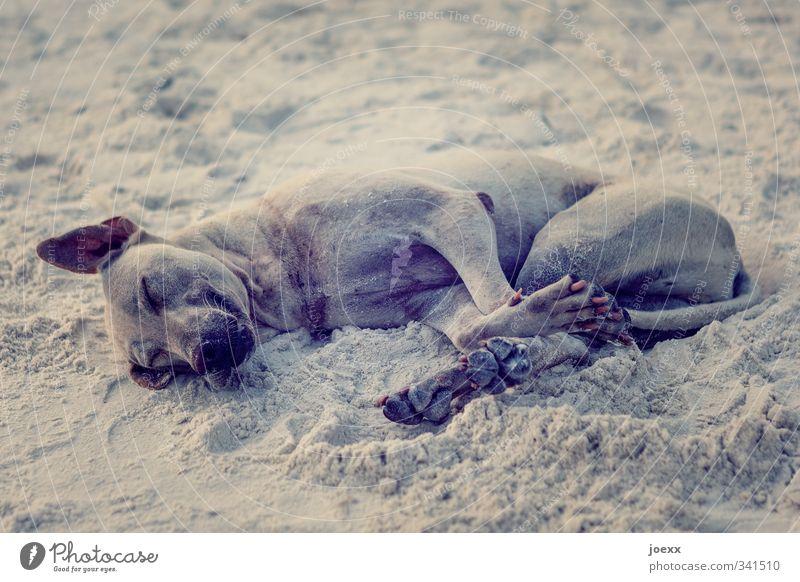 Strand. Gut. Haustier Hund 1 Tier liegen schlafen dreckig einfach braun Gefühle Freude Glück Lebensfreude Geborgenheit Tierliebe ruhig Erholung erdig Sand