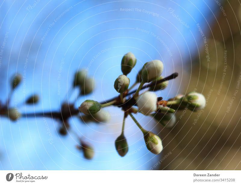 kleine Knospen in der Frühlingssonne Frühlingstag Frühlingsblume Farbfoto Blume Blüte Pflanze Natur Frühlingsgefühle Frühlingsfarbe Frühlingsbote