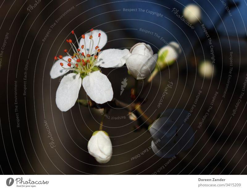 Frische Blüte in der Frühlingssonne Blume Pflanze Blühend Natur Farbfoto Frühlingsgefühle Frühlingstag Frühlingsblume Frühlingsbote Außenaufnahme Tag