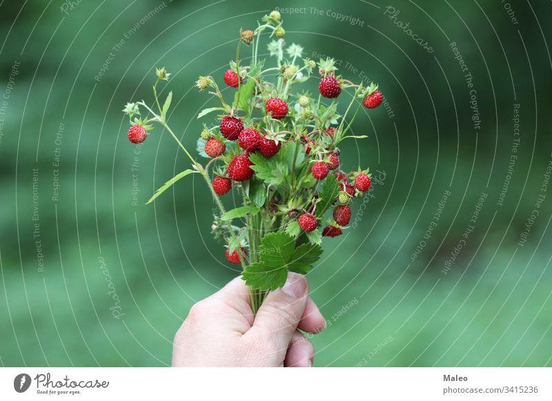 Strauß Erdbeeren in der Hand Hintergrund Beere Bund Büsche Nahaufnahme Farbe bunt lecker Dessert Diät Bauernhof Feld Essen frisch Frische Obst Garten