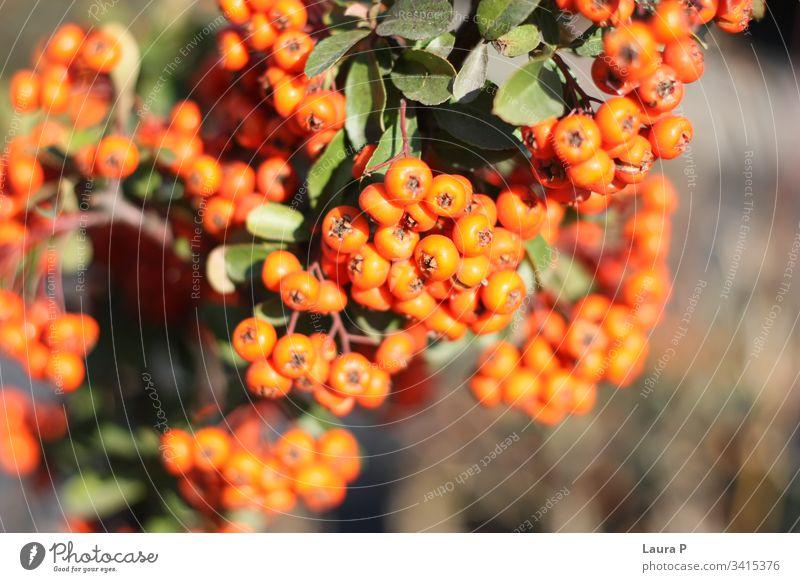 Nahaufnahme von kleinen runden Orangenbeeren Beeren kleine Runde orange rund gerundet Frische botanisch Dekoration & Verzierung farbenfroh ornamental