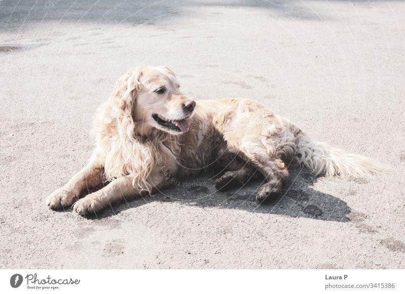 Schöner Golden Retriever sitzend freundlich Glück Hund im Park Hundeporträt Fell Kreatur goldie außerhalb Spielen dreckig im Freien Reinrassig Spaß Hintergrund